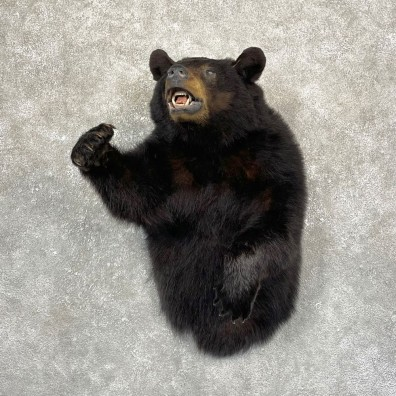 Black Bear 1/2-Life-Size Mount For Sale #24983 @ The Taxidermy Store