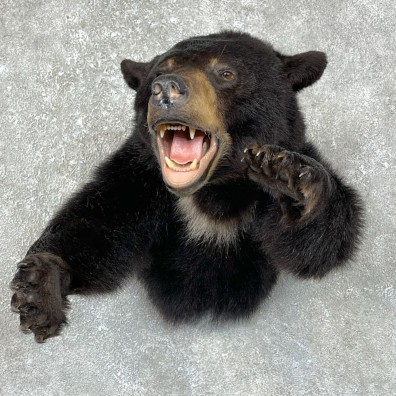Black Bear 1/2-Life-Size Mount For Sale #25301 @ The Taxidermy Store