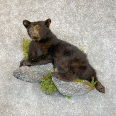 Black Bear Cub Taxidermy Mount For Sale #24195 @ The Taxidermy Store
