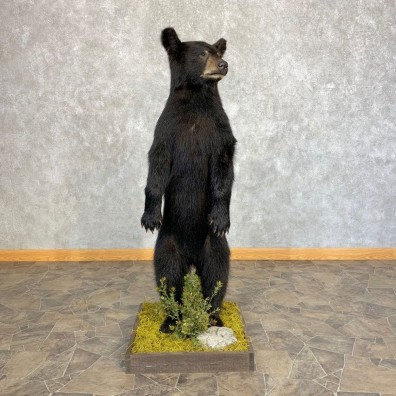 Black Bear Cub Taxidermy Mount #21351 For Sale @ The Taxidermy Store