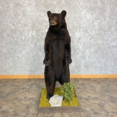 Black Bear Cub Taxidermy Mount #21352 For Sale @ The Taxidermy Store