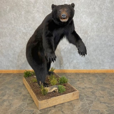 Black Bear Life-Size Mount For Sale #24102 @ The Taxidermy Store