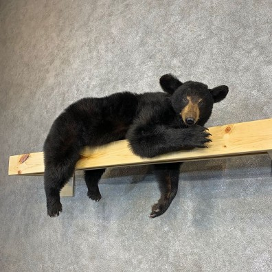 Black Bear Life-Size Mount For Sale #21284 @ The Taxidermy Store