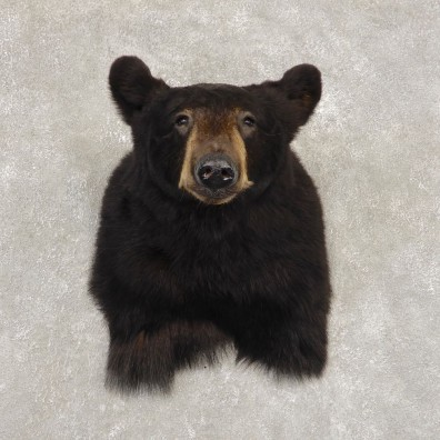 Black Bear Shoulder Mount For Sale #21413 @ The Taxidermy Store