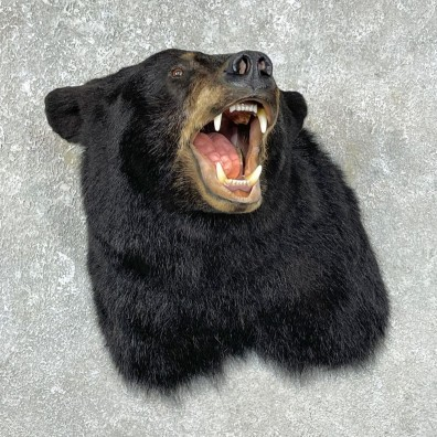 Black Bear Shoulder Mount For Sale #25302 @ The Taxidermy Store