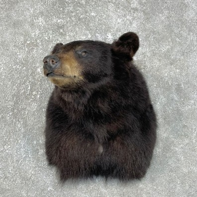 Black Bear Shoulder Mount For Sale #25475 @ The Taxidermy Store