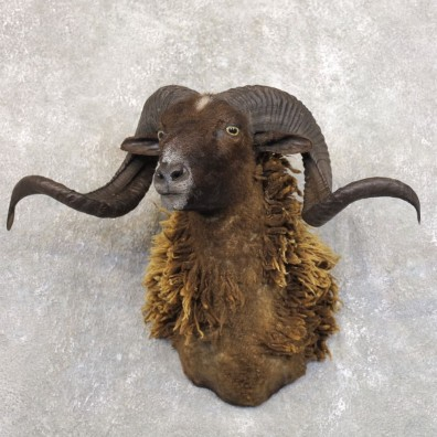 Black Corsican Ram Shoulder Mount For Sale #22207 @ The Taxidermy Store
