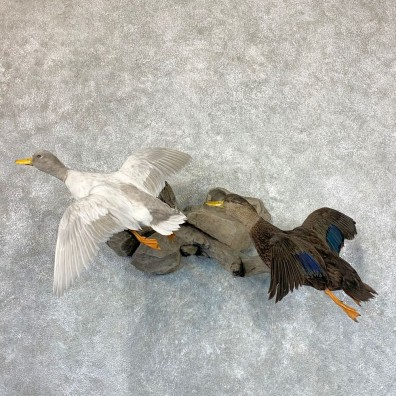 Black Duck and Silver Mallard Pair For Sale #22970- The Taxidermy Store