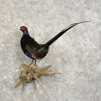 Black Pheasant Bird Mount For Sale #25087 @ The Taxidermy Store