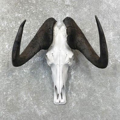 Black Wildebeest Skull European Mount For Sale #24817 @ The Taxidermy Store
