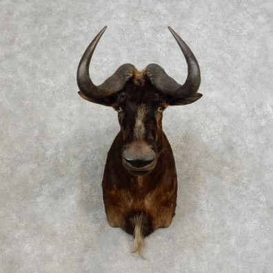 Black Wildebeest Shoulder Mount For Sale #17264 @ The Taxidermy Store