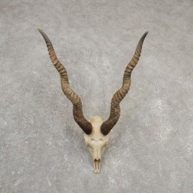 Blackbuck Skull & Horn European Mount For Sale #20552 @ The Taxidermy Store
