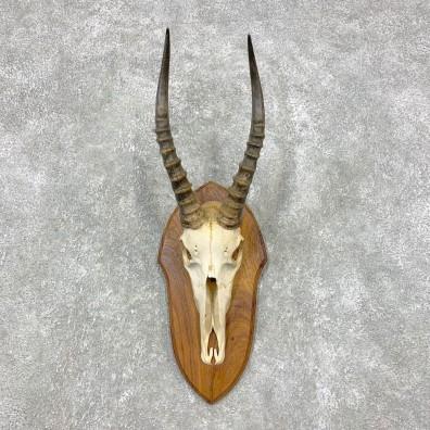 Blesbok Skull & Horn European Mount For Sale #21464 @ The Taxidermy Store