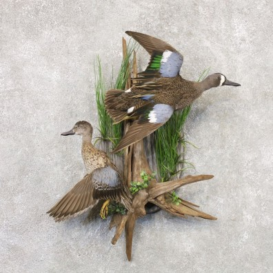 Blue Winged Teal Hen & Drake Duck Bird Mount For Sale #22527 @ The Taxidermy Store