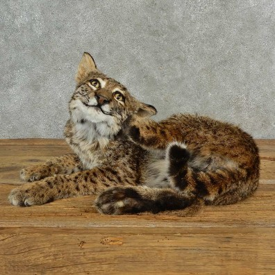 Bobcat Life-Size Mount For Sale #17007 @ The Taxidermy Store