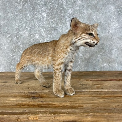 Bobcat Kitten Life-Size Mount For Sale #25448 @ The Taxidermy Store