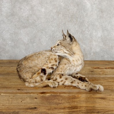 Bobcat Life-Size Mount For Sale #18881 @ The Taxidermy Store