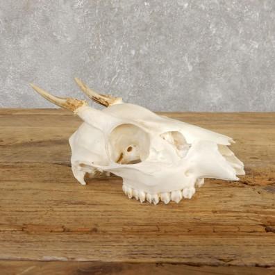 Brocket Deer Skull & Antler European Mount For Sale #19925 @ The Taxidermy Store