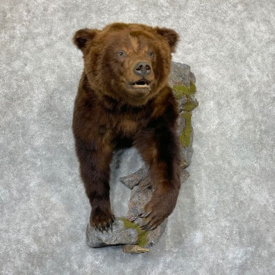 Brown Bear Half Life-Size Mount For Sale #24151 @ The Taxidermy Store