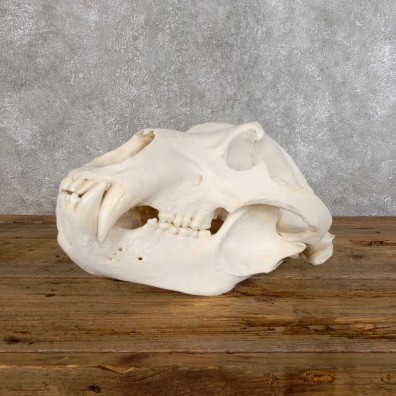 Brown Bear Life-Size Mount For Sale #18549 @ The Taxidermy Store