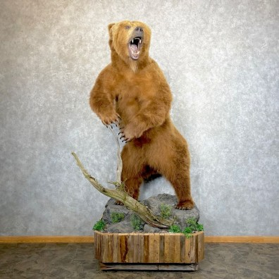 Brown Bear Life-Size Mount For Sale #24656 @ The Taxidermy Store