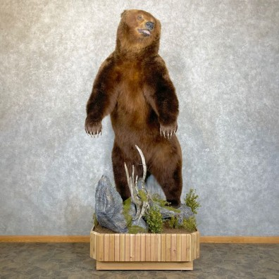 Brown Bear Life Size Taxidermy Mount For Sale #24123 @ The Taxidermy Store