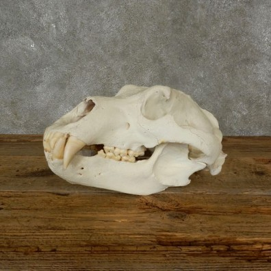 Brown Bear Skull Mount For Sale #17484 @ The Taxidermy Store