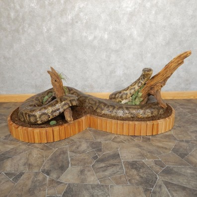 Burmese Python Snake Mount For Sale #21000 @ The Taxidermy Store