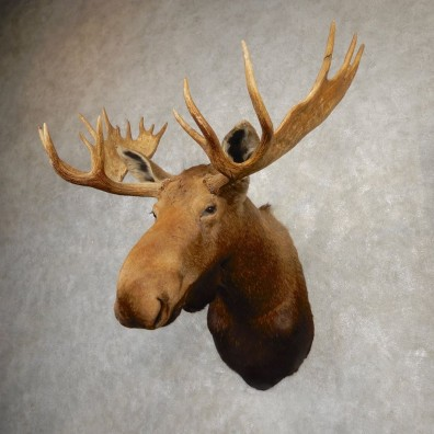Canadian Moose Shoulder Mount For Sale #20509 @ The Taxidermy Store