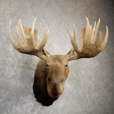 Canadian Moose Shoulder Mount For Sale #20510 @ The Taxidermy Store