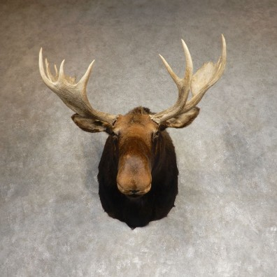 Canadian Moose Shoulder Mount For Sale #21275 @ The Taxidermy Store