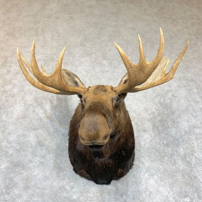 Canadian Moose Shoulder Mount For Sale #22335 @ The Taxidermy Store