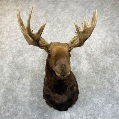 Canadian Moose Shoulder Mount For Sale #24984 @ The Taxidermy Store