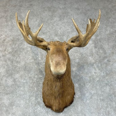 Canadian Moose Shoulder Mount For Sale #25415 @ The Taxidermy Store