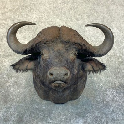 Cape Buffalo Shoulder Mount For Sale #23658 @ The Taxidermy Store