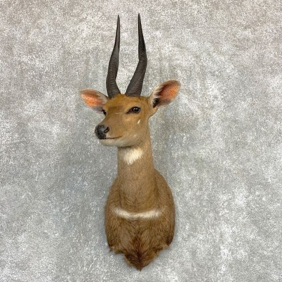 Cape Bushbuck Shoulder Mount For Sale #22089 @ The Taxidermy Store