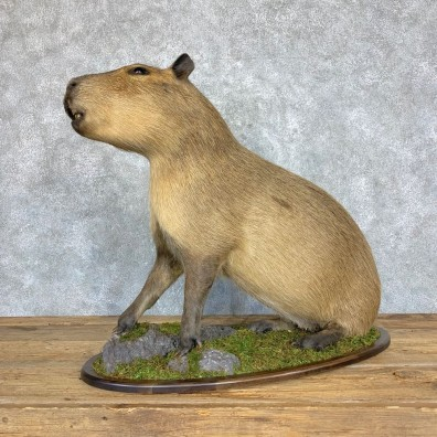 Capybara Life-Size Taxidermy Mount For Sale #21753 @ The Taxidermy Store
