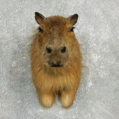 Capybara  Mount For Sale #17639 @ The Taxidermy Store