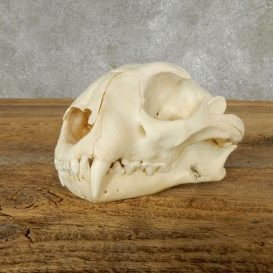 African Caracal Cat Skull For Sale #17492 @ The Taxidermy Store