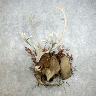 Barren Ground Caribou Shoulder Mount For Sale #18383 @ The Taxidermy Store