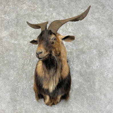 Catalina Goat Shoulder Mount For Sale #25474 @ The Taxidermy Store