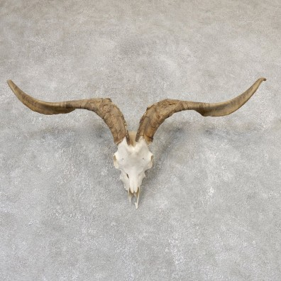 Catalina Goat Skull & Horn European Mount For Sale #19018 @ The Taxidermy Store