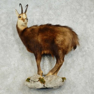Chamois Life-Size Mount For Sale #15830 @ The Taxidermy Store
