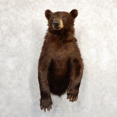 Chocolate Black Bear 1/2-Life-Size Mount For Sale #20787 @ The Taxidermy Store