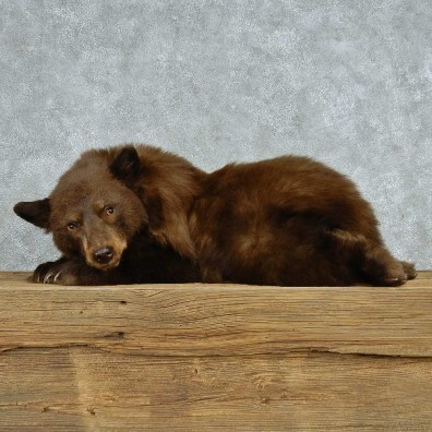 Laying Cinnamon Bear Cub Mount #13627 For Sale @ The Taxidermy Store