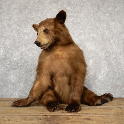 Cinnamon Black Bear Life-Size Mount For Sale #18894 @ The Taxidermy Store