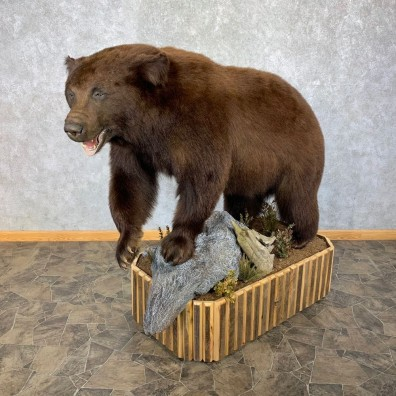Cinnamon Phase Black Bear Life-Size Mount For Sale #23155 @ The Taxidermy Store