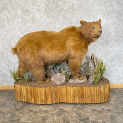 Cinnamon Phase Black Bear Life-Size Mount For Sale #24848 @ The Taxidermy Store