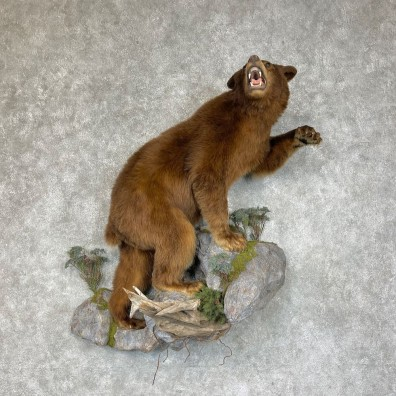 Cinnamon Phase Black Bear Life-Size Mount For Sale #25277 @ The Taxidermy Store