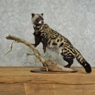 African Civet-Cat Life-Size Mount For Sale #16698 @ The Taxidermy Store